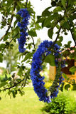 Cornflower wreathes in apple tree. A beautiful cornflower wreath is put on an apple tree branch Stock Photos