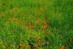 Cornflowers και παπαρούνες σε μια ανθοδέσμη τομέων στοκ εικόνες με δικαίωμα ελεύθερης χρήσης