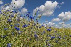 Cornflowers και σύννεφα στον ουρανό στοκ φωτογραφίες