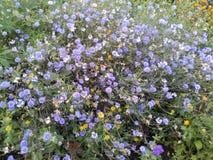 Cornflowers λουλουδιών Στοκ φωτογραφία με δικαίωμα ελεύθερης χρήσης