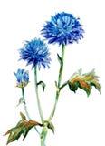 Cornflowers φθινοπώρου Στοκ εικόνα με δικαίωμα ελεύθερης χρήσης