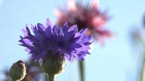 Cornflowers в частицах воды сток-видео