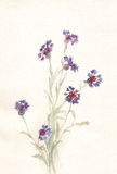 cornflowers крася акварель Стоковые Изображения RF