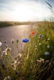 Cornflowers полевых цветков в яркой ой-зелен траве Летний день в th Стоковое Фото
