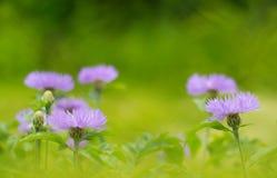 Cornflowers фиолетовые в открытом пространстве Cornflowers в поле зеленый цвет предпосылки красивейший Селективный мягкий фокус Стоковая Фотография RF
