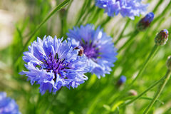 Cornflowers. Blue cornflowers on green meadow Royalty Free Stock Photography