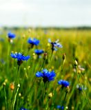 Cornflowers. Royalty Free Stock Photography