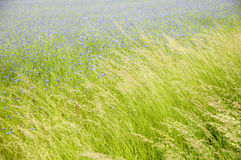 Cornflowers. Cornflower meadow with swinging grasses in the foreground stock photography