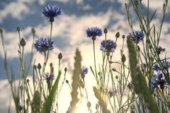 Cornflowers Fotografía de archivo libre de regalías