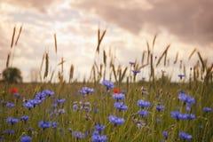 cornflowers Zdjęcie Royalty Free