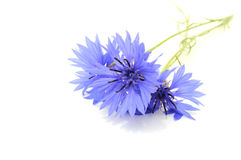 Free Cornflowers Royalty Free Stock Photos - 16060158