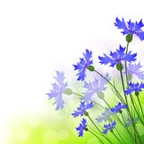 Cornflowers Royalty Free Stock Photo