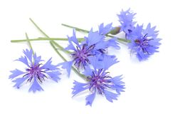 Cornflowers Stock Images