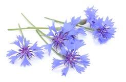 Cornflowers Stock Images