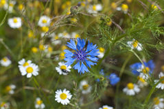Cornflowers. A cornflower in a field Royalty Free Stock Images