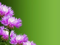 cornflowers Стоковые Фото