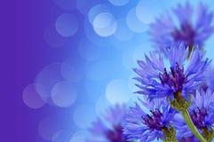 cornflowers Стоковая Фотография