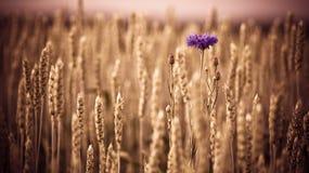 Cornflowers Royalty Free Stock Photography