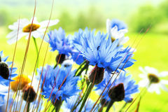 Cornflowers stockfotos