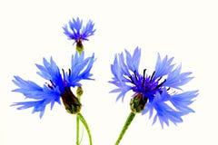 cornflowers Photographie stock libre de droits