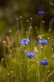 cornflowers Imágenes de archivo libres de regalías