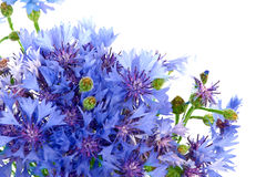 Cornflowers. Bunch of cornflowers. Over white background Stock Photos