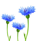 Cornflowers Royalty Free Stock Photography