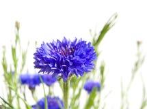 Cornflowers. Isolated on white background stock photography
