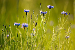 cornflowers Fotografia de Stock Royalty Free