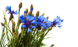 cornflowers royalty-vrije stock afbeelding