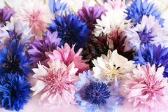 cornflowers royalty-vrije stock fotografie