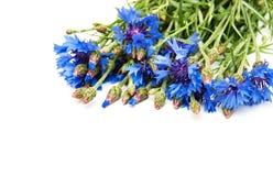 cornflowers stock foto's