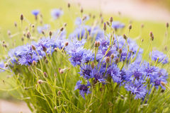 cornflowers Immagine Stock