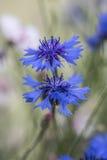 cornflowers Fotos de archivo libres de regalías