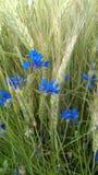 cornflowers royalty-vrije stock foto's