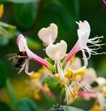 cornflowers Zdjęcia Royalty Free