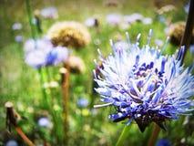 cornflowers Стоковое Фото