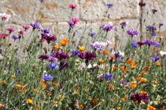 cornflowers Stockfoto