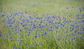 cornflowers stock afbeelding