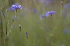 cornflowers lizenzfreie stockfotografie