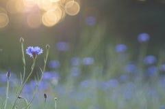 cornflowers Royalty-vrije Stock Afbeeldingen