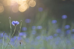 cornflowers Imagens de Stock Royalty Free