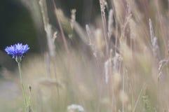 cornflowers lizenzfreies stockfoto
