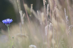 cornflowers Royalty-vrije Stock Foto