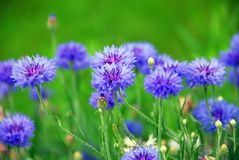 cornflowers Obraz Stock