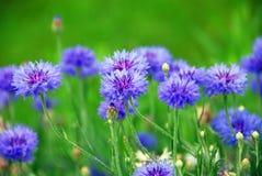 Cornflowers. Blue cornflowers on green background stock image
