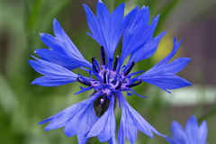 cornflowers Stockbild
