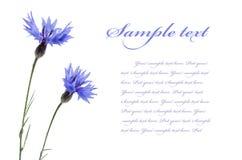 Cornflowers auf Weiß Lizenzfreies Stockfoto