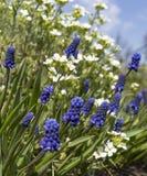 Cornflowers azuis no campo imagem de stock royalty free