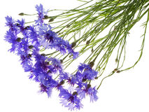 Cornflowers azules Imagen de archivo libre de regalías